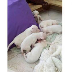 DOGO ARGENTINO – Cachorros